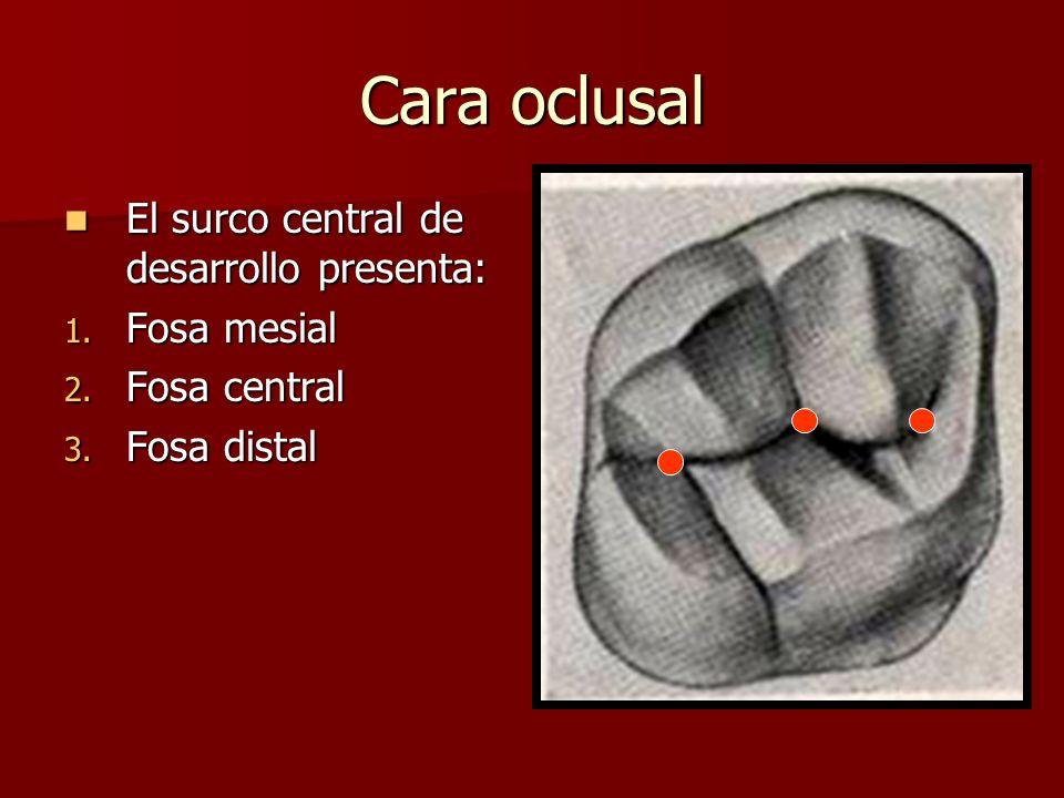 Cara oclusal El surco central de desarrollo presenta: Fosa mesial