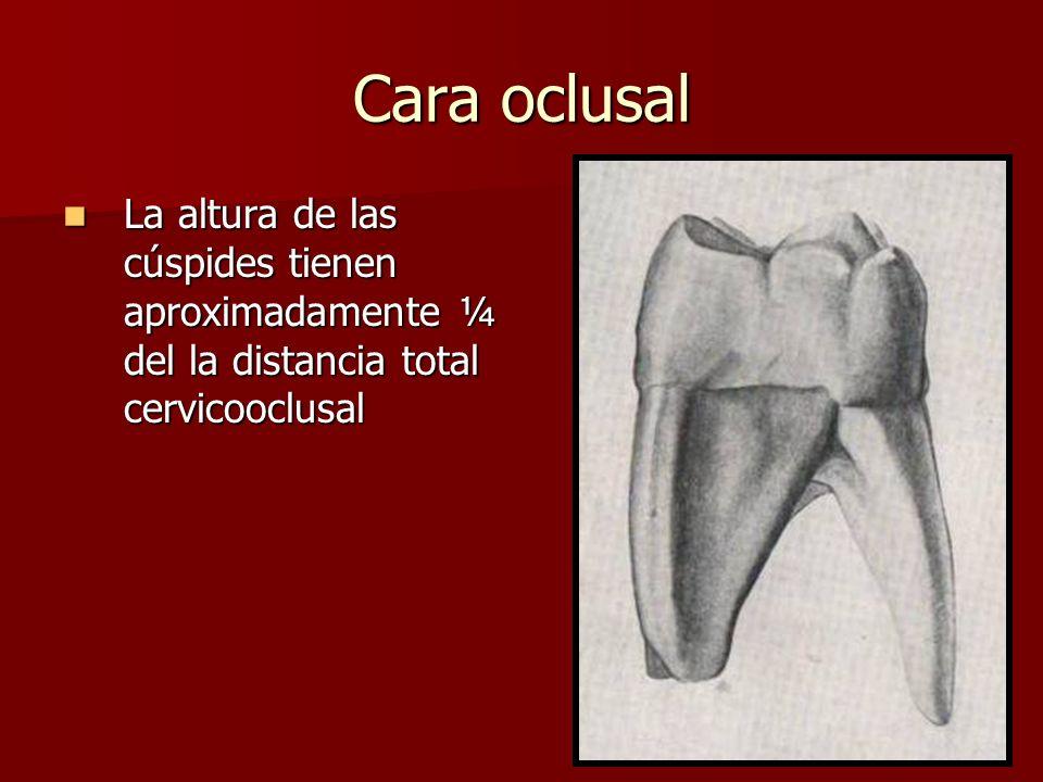 Cara oclusal La altura de las cúspides tienen aproximadamente ¼ del la distancia total cervicooclusal.