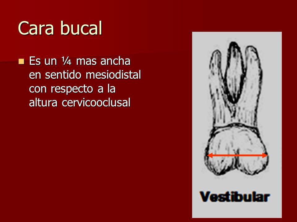 Cara bucal Es un ¼ mas ancha en sentido mesiodistal con respecto a la altura cervicooclusal