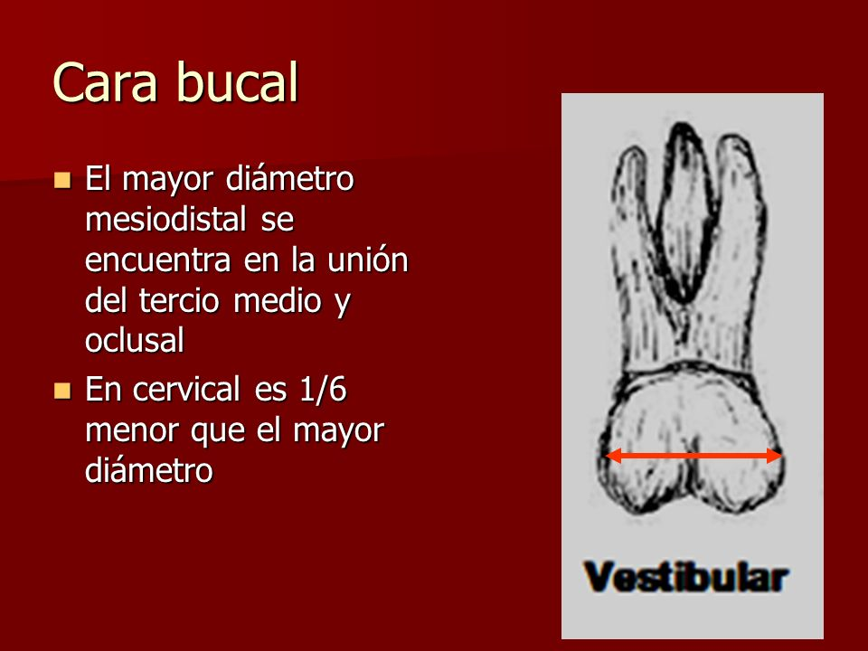 Cara bucal El mayor diámetro mesiodistal se encuentra en la unión del tercio medio y oclusal.