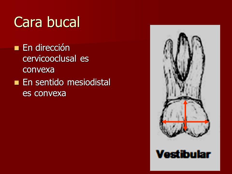 Cara bucal En dirección cervicooclusal es convexa