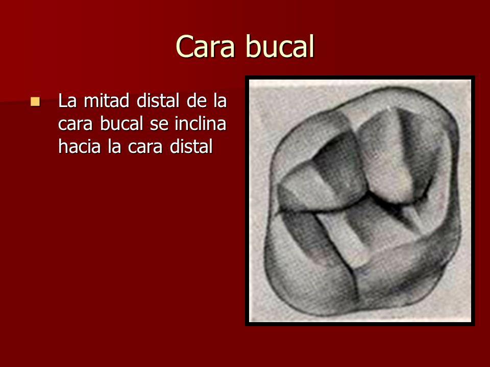 Cara bucal La mitad distal de la cara bucal se inclina hacia la cara distal