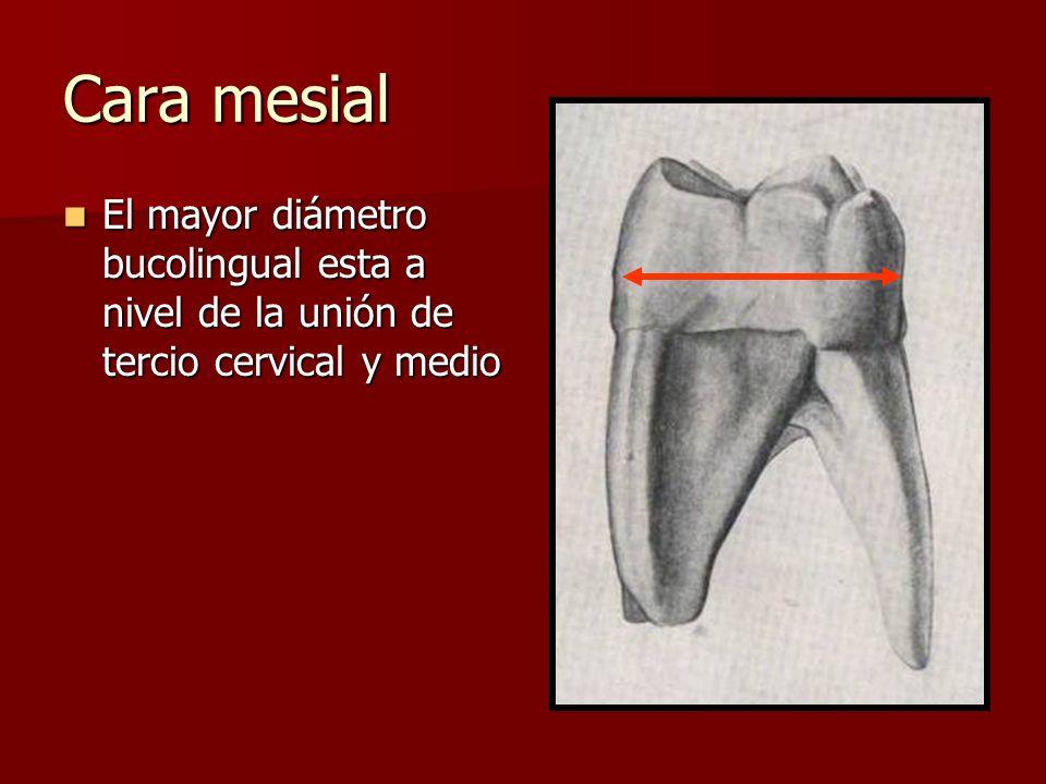 Cara mesial El mayor diámetro bucolingual esta a nivel de la unión de tercio cervical y medio