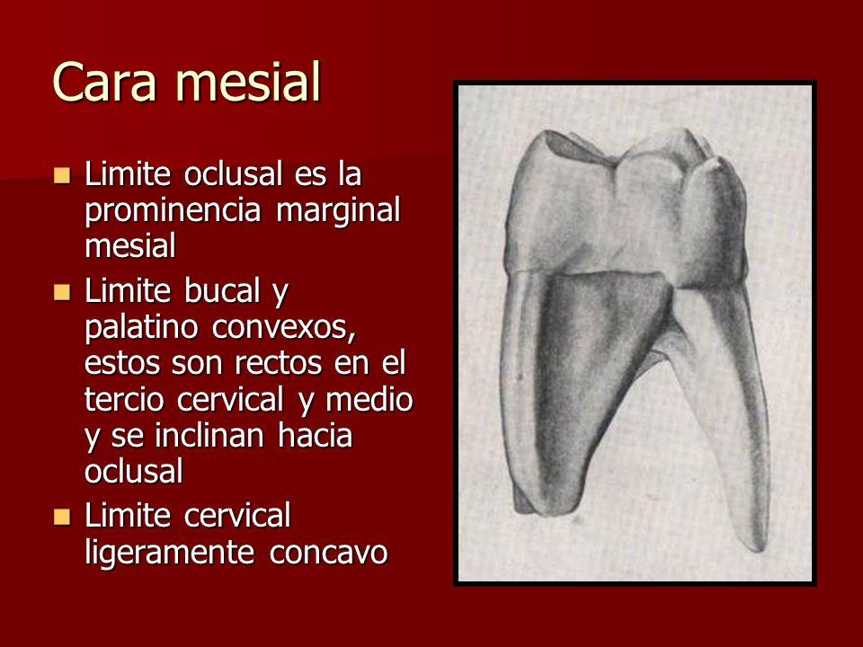 Cara mesial Limite oclusal es la prominencia marginal mesial