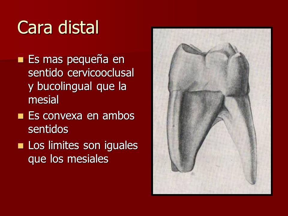 Cara distal Es mas pequeña en sentido cervicooclusal y bucolingual que la mesial. Es convexa en ambos sentidos.
