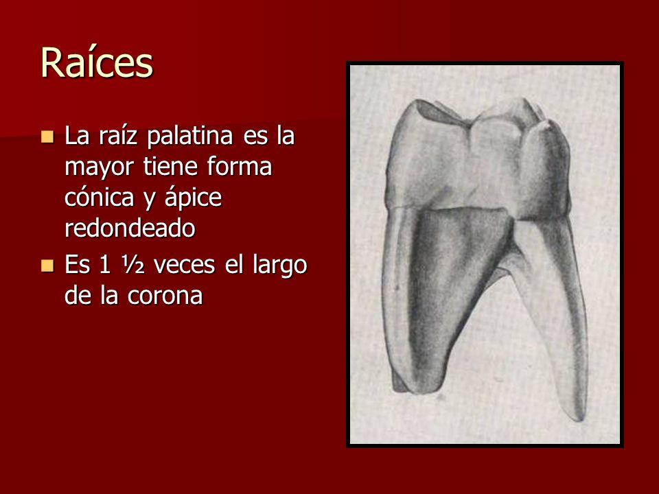 Raíces La raíz palatina es la mayor tiene forma cónica y ápice redondeado.