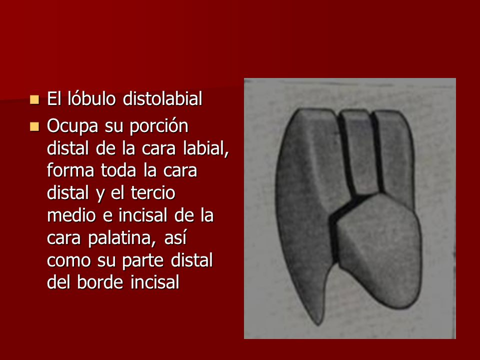 El lóbulo distolabial
