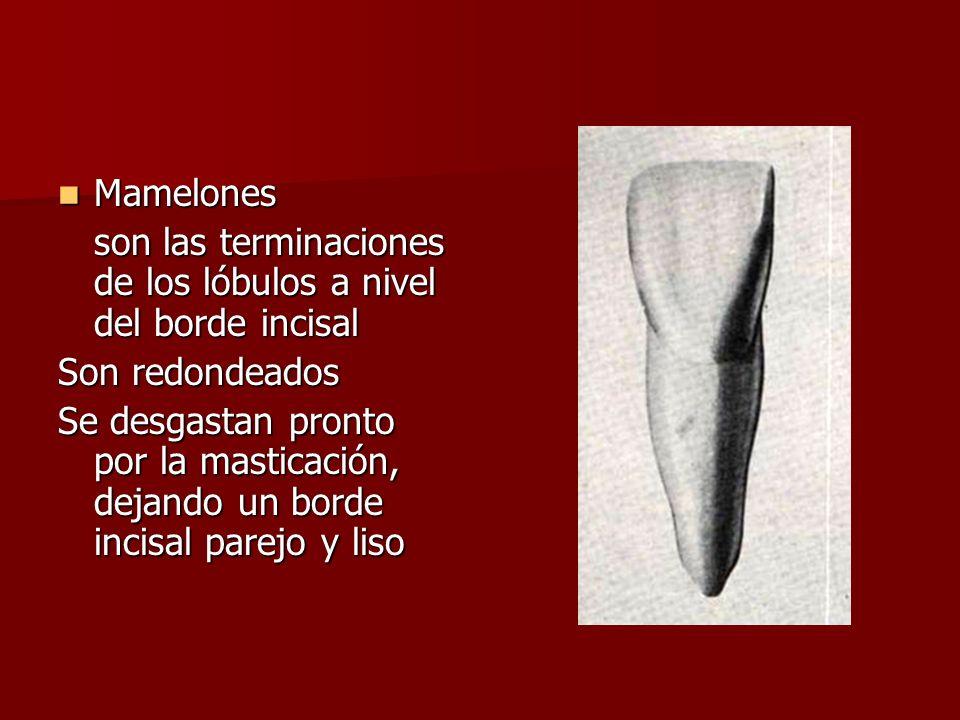 Mamelones son las terminaciones de los lóbulos a nivel del borde incisal. Son redondeados.