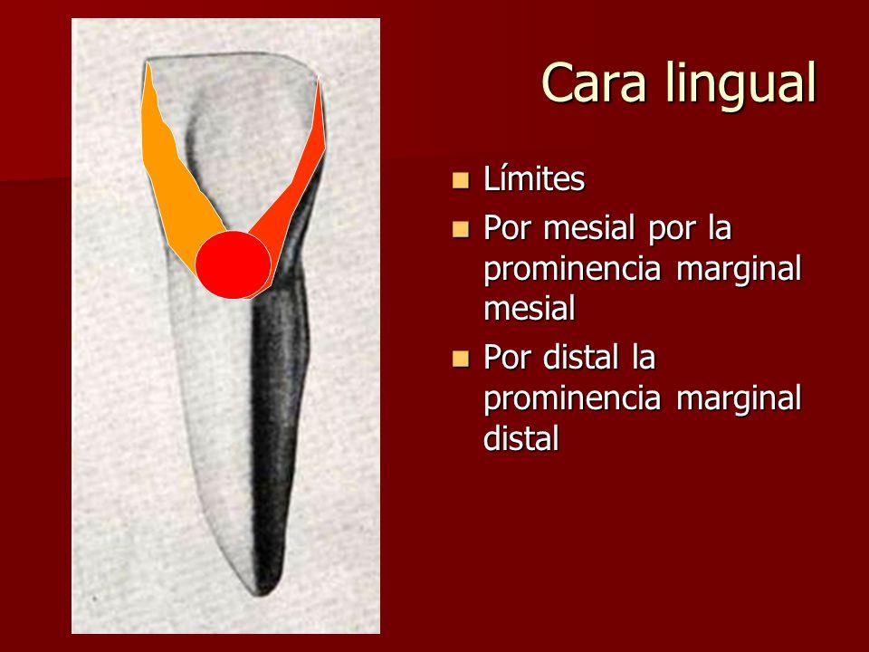 Cara lingual Límites Por mesial por la prominencia marginal mesial