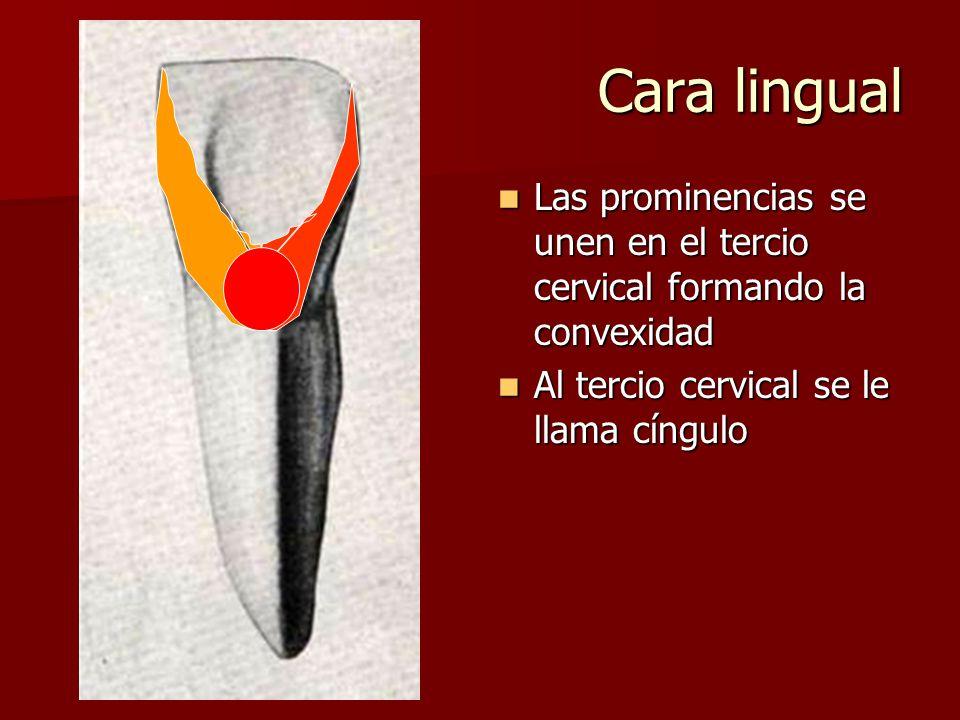Cara lingual Las prominencias se unen en el tercio cervical formando la convexidad.