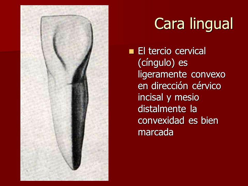 Cara lingual El tercio cervical (cíngulo) es ligeramente convexo en dirección cérvico incisal y mesio distalmente la convexidad es bien marcada.