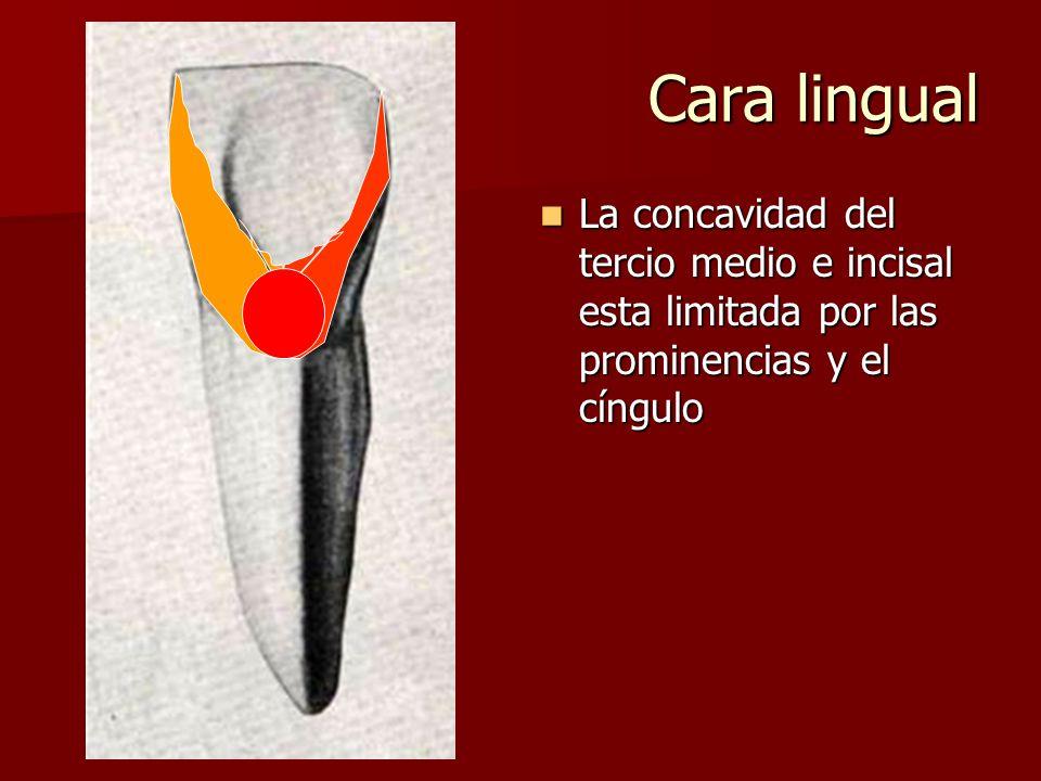 Cara lingual La concavidad del tercio medio e incisal esta limitada por las prominencias y el cíngulo.