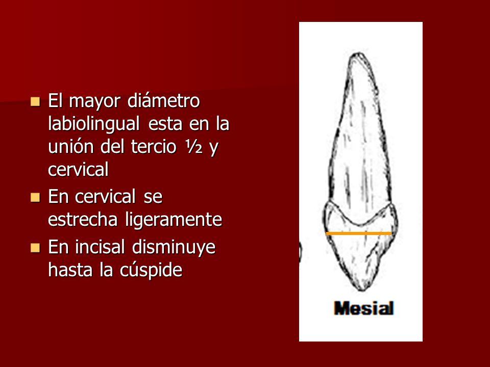 El mayor diámetro labiolingual esta en la unión del tercio ½ y cervical