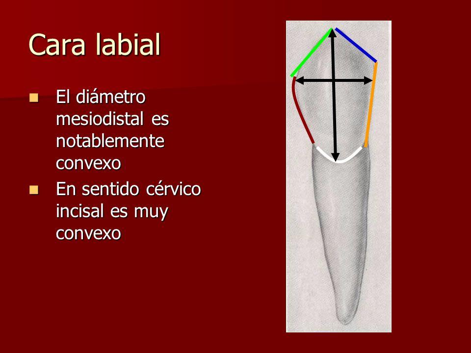 Cara labial El diámetro mesiodistal es notablemente convexo