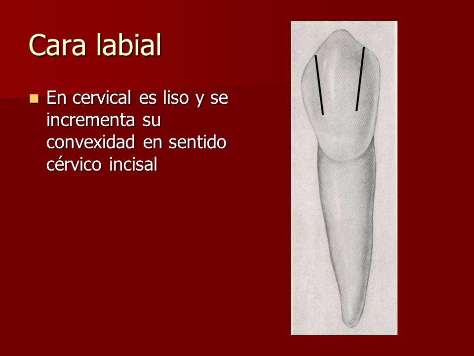 Cara labial En cervical es liso y se incrementa su convexidad en sentido cérvico incisal