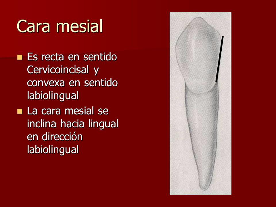 Cara mesial Es recta en sentido Cervicoincisal y convexa en sentido labiolingual.