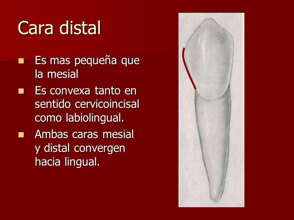 Cara distal Es mas pequeña que la mesial