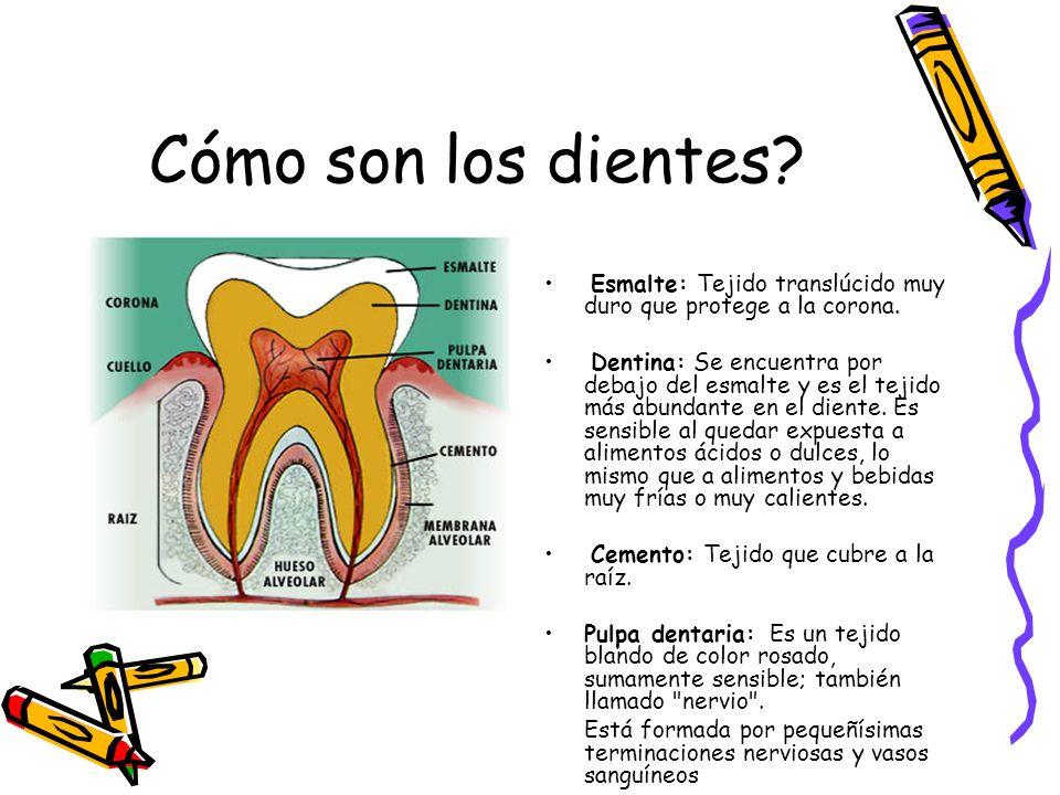 Cómo son los dientes Esmalte: Tejido translúcido muy duro que protege a la corona.