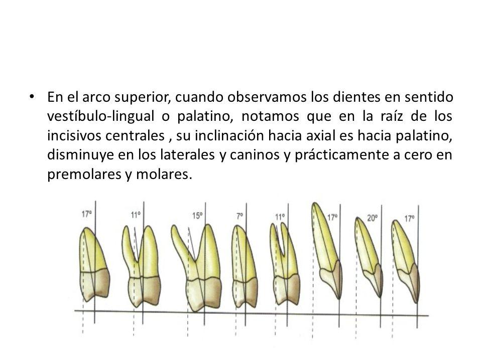 En el arco superior, cuando observamos los dientes en sentido vestíbulo-lingual o palatino, notamos que en la raíz de los incisivos centrales , su inclinación hacia axial es hacia palatino, disminuye en los laterales y caninos y prácticamente a cero en premolares y molares.