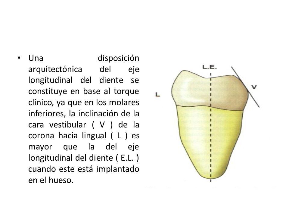 Una disposición arquitectónica del eje longitudinal del diente se constituye en base al torque clínico, ya que en los molares inferiores, la inclinación de la cara vestibular ( V ) de la corona hacia lingual ( L ) es mayor que la del eje longitudinal del diente ( E.L.