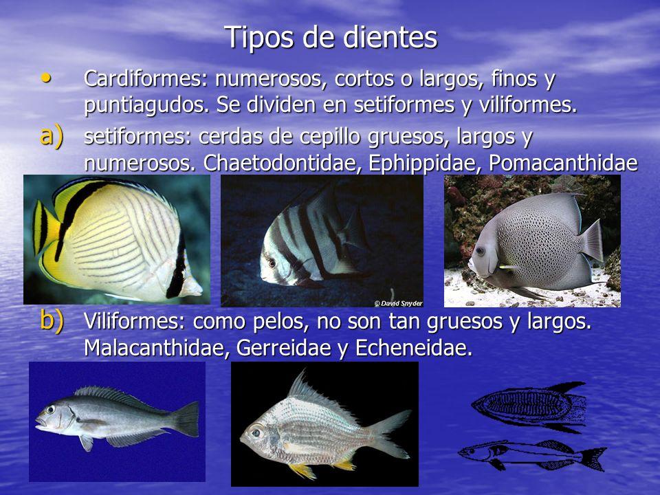 Tipos de dientes Cardiformes: numerosos, cortos o largos, finos y puntiagudos. Se dividen en setiformes y viliformes.