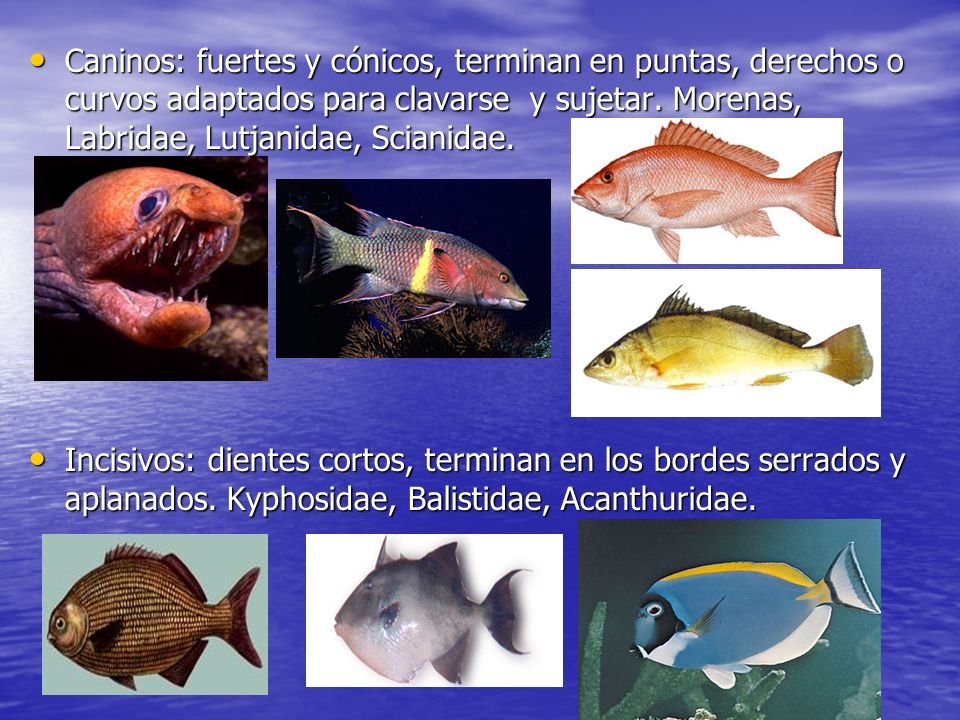 Caninos: fuertes y cónicos, terminan en puntas, derechos o curvos adaptados para clavarse y sujetar. Morenas, Labridae, Lutjanidae, Scianidae.