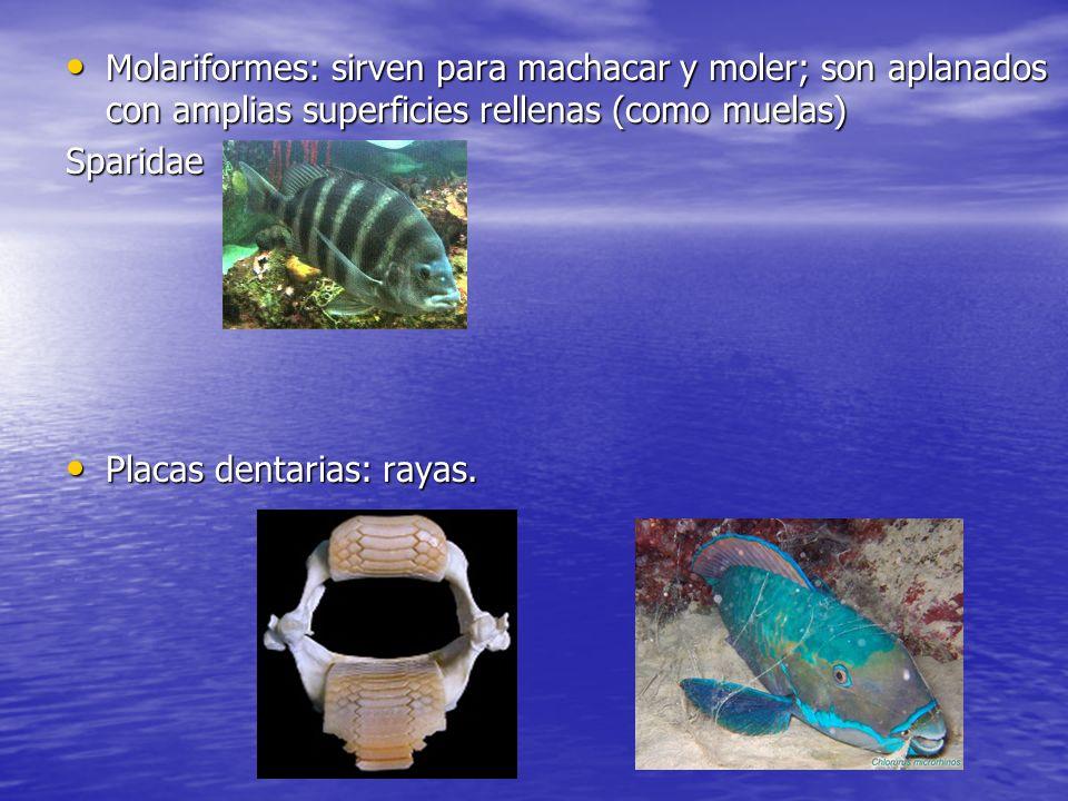 Molariformes: sirven para machacar y moler; son aplanados con amplias superficies rellenas (como muelas)