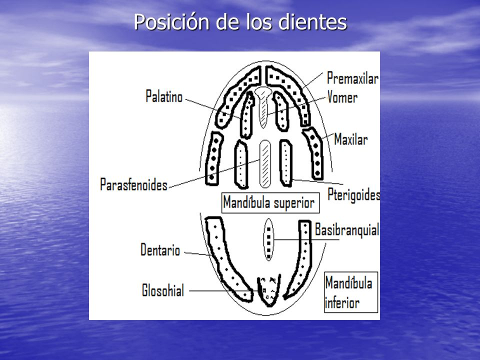Posición de los dientes