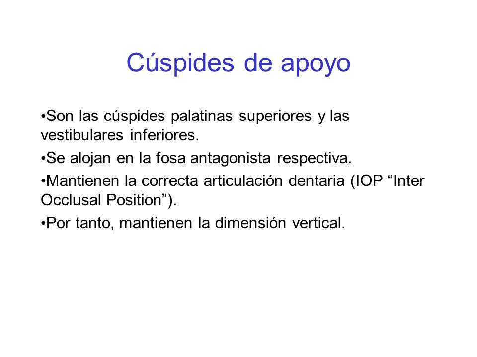 Cúspides de apoyo Son las cúspides palatinas superiores y las vestibulares inferiores. Se alojan en la fosa antagonista respectiva.