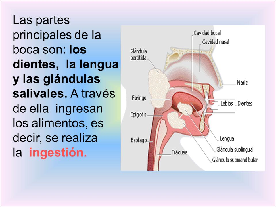 Las partes principales de la boca son: los dientes, la lengua y las glándulas salivales.