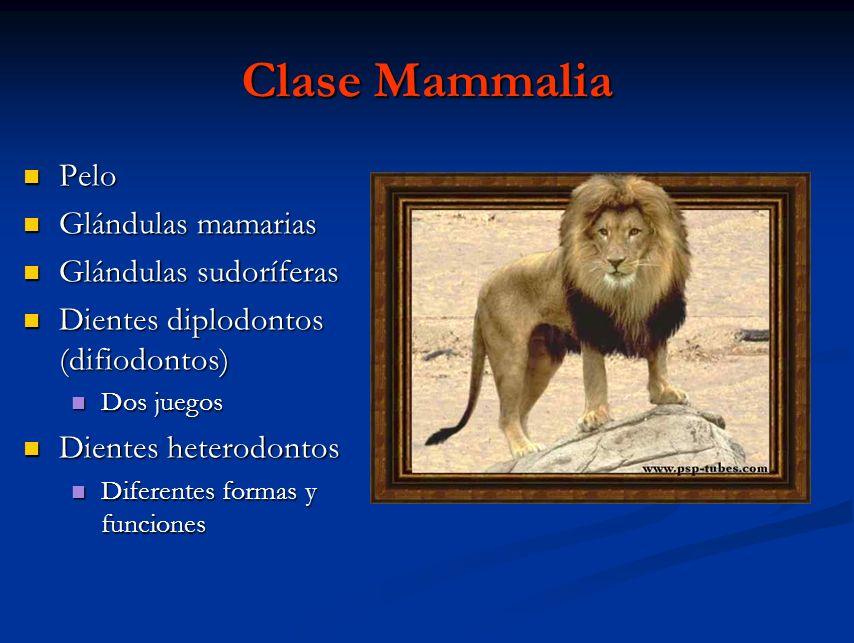 Clase Mammalia Pelo Glándulas mamarias Glándulas sudoríferas