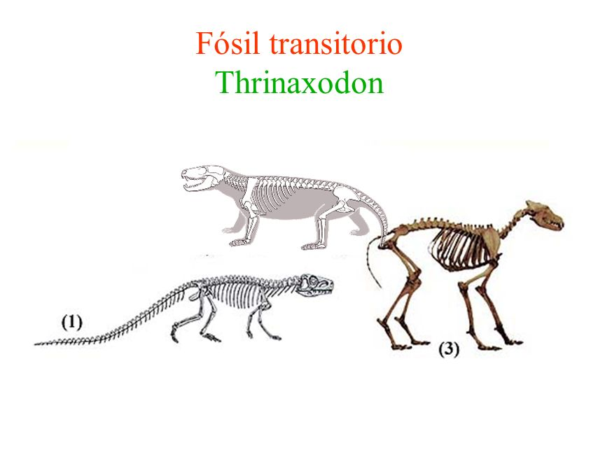 Fósil transitorio Thrinaxodon