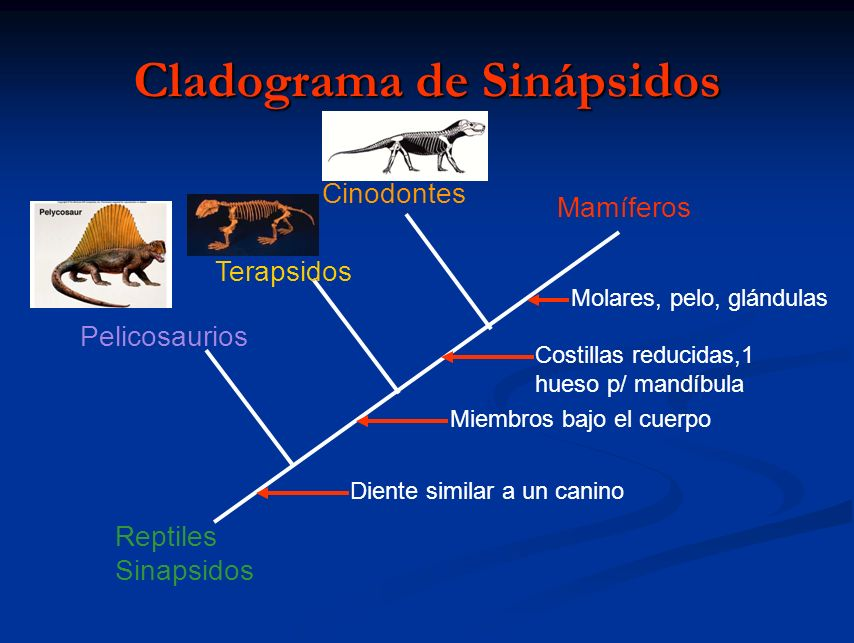 Cladograma de Sinápsidos