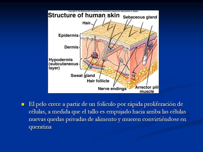 El pelo crece a partir de un folículo por rápida proliferación de células, a medida que el tallo es empujado hacia arriba las células nuevas quedas privadas de alimento y mueren convirtiéndose en queratina
