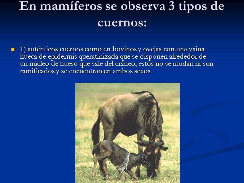 En mamíferos se observa 3 tipos de cuernos: