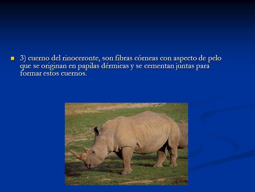 3) cuerno del rinoceronte, son fibras córneas con aspecto de pelo que se originan en papilas dérmicas y se cementan juntas para formar estos cuernos.