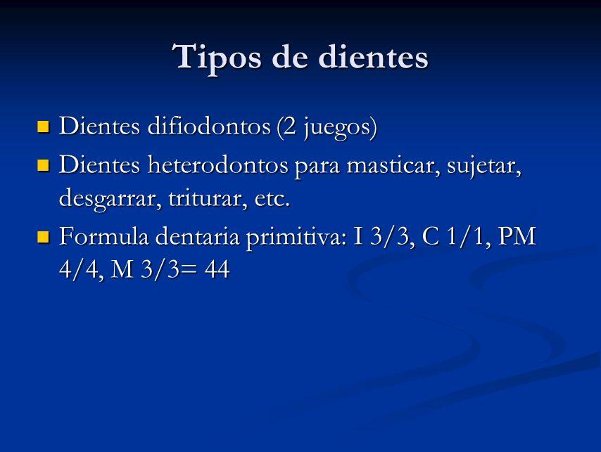 Tipos de dientes Dientes difiodontos (2 juegos)