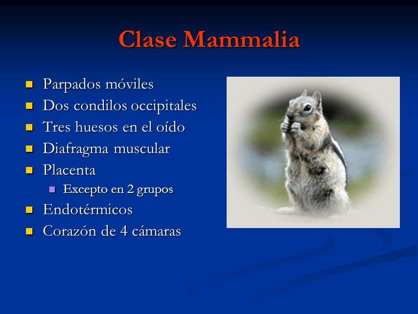 Clase Mammalia Parpados móviles Dos condilos occipitales