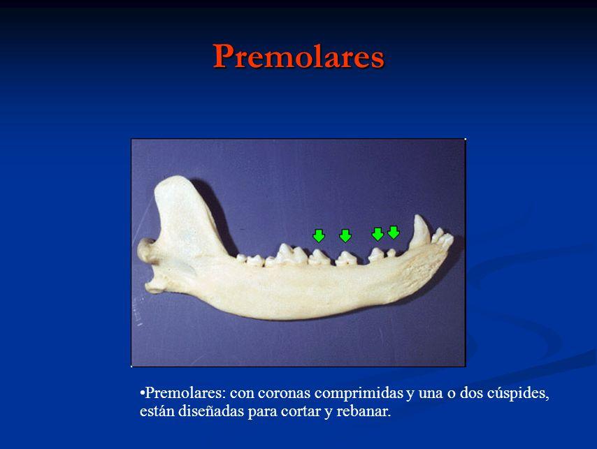 Premolares Premolares: con coronas comprimidas y una o dos cúspides, están diseñadas para cortar y rebanar.