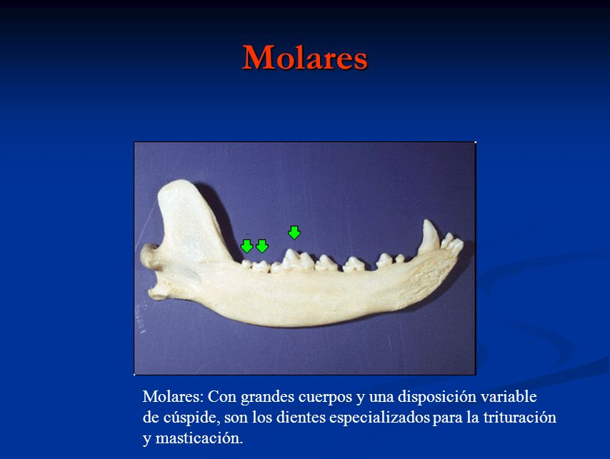 Molares Molares: Con grandes cuerpos y una disposición variable