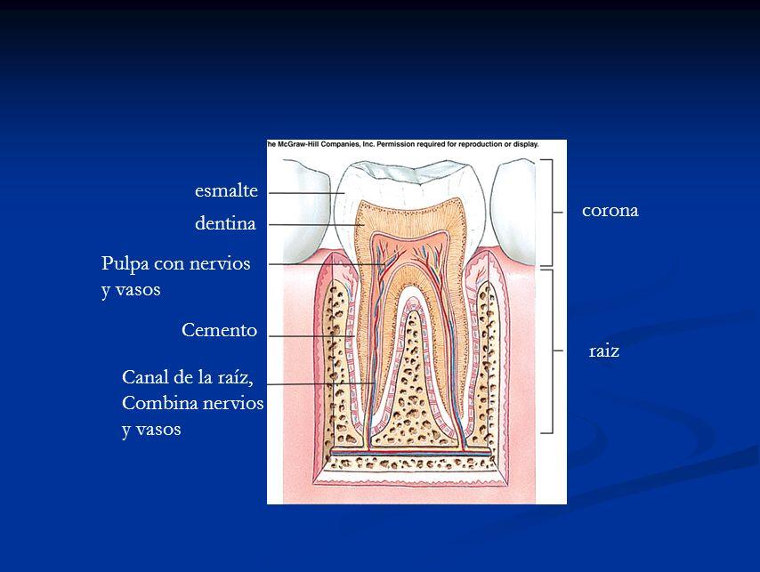 esmalte corona. dentina. Pulpa con nervios. y vasos. Cemento. raiz. Canal de la raíz, Combina nervios.