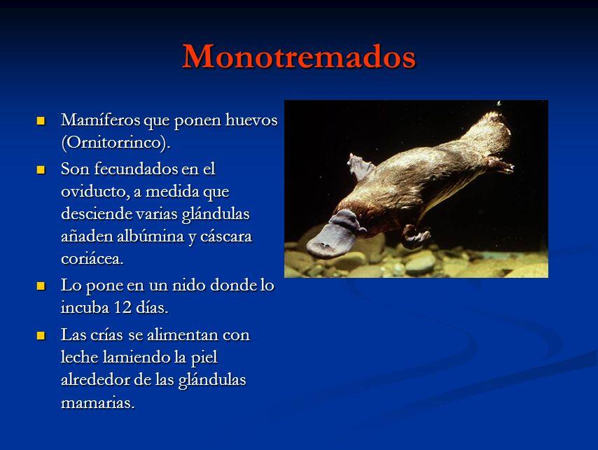 Monotremados Mamíferos que ponen huevos (Ornitorrinco).