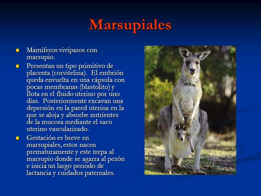 Marsupiales Mamíferos vivíparos con marsupio.