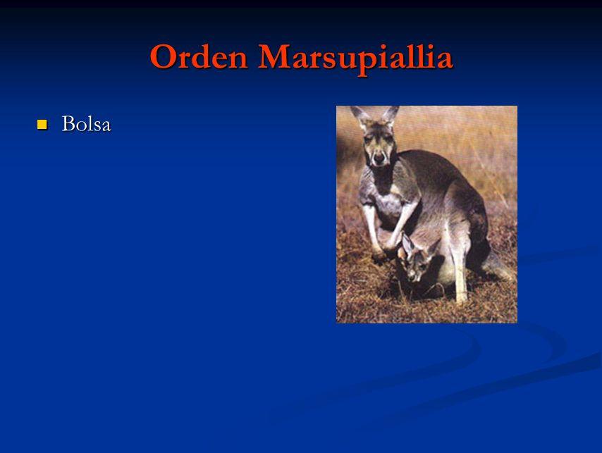 Orden Marsupiallia Bolsa