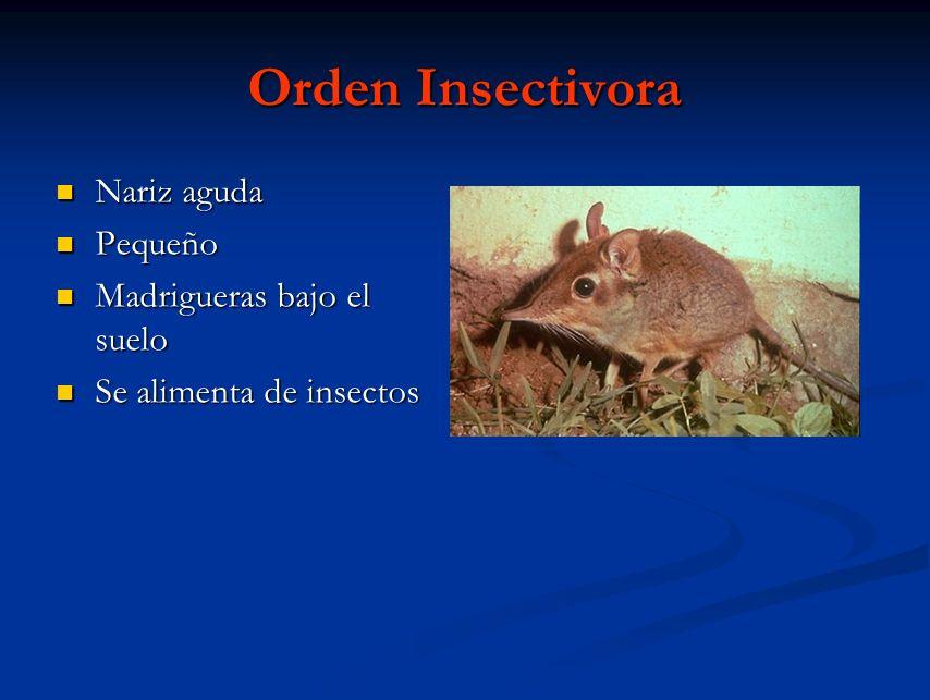 Orden Insectivora Nariz aguda Pequeño Madrigueras bajo el suelo