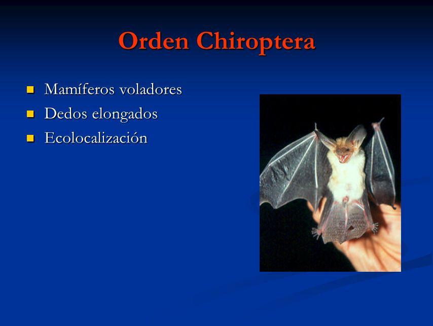 Orden Chiroptera Mamíferos voladores Dedos elongados Ecolocalización
