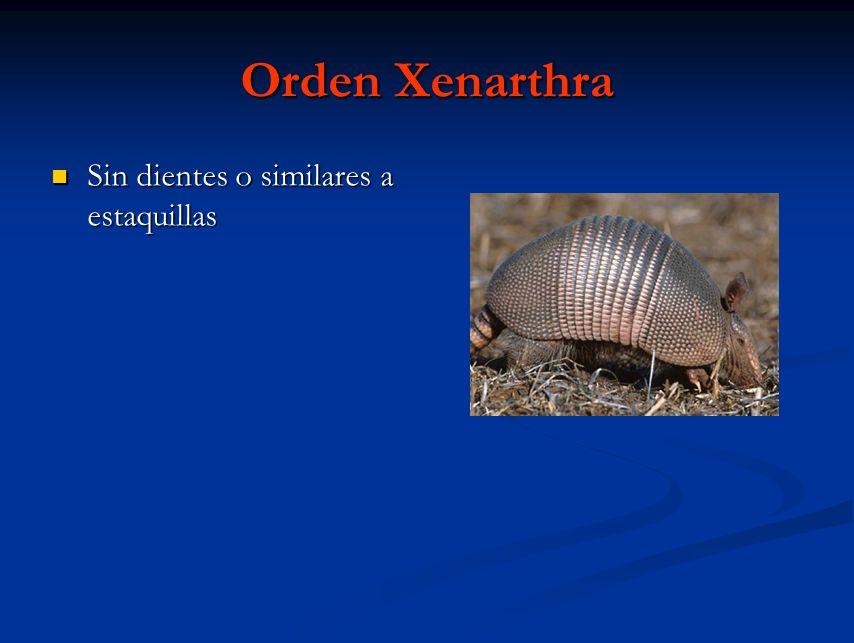 Orden Xenarthra Sin dientes o similares a estaquillas