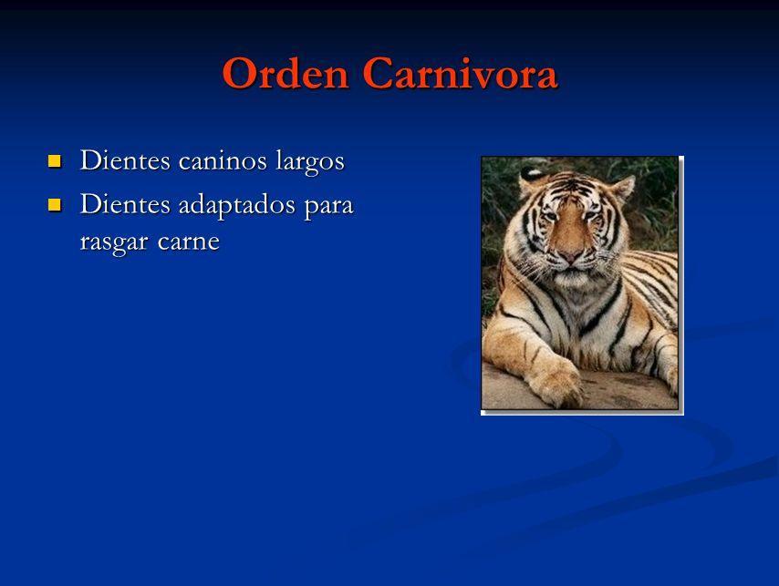 Orden Carnivora Dientes caninos largos