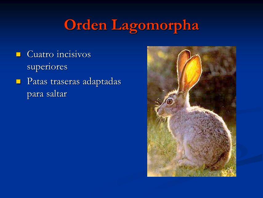 Orden Lagomorpha Cuatro incisivos superiores