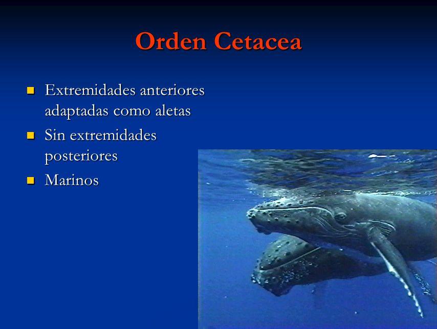 Orden Cetacea Extremidades anteriores adaptadas como aletas